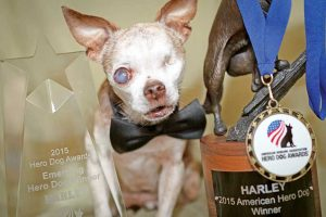 Harley the Chihuahua was selected as the 2015 American Hero Dog by the American Humane Association. Photo courtesy of Rudi Taylor