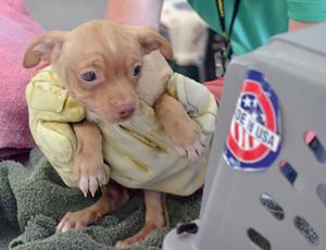 One of the Chihuahuas rescued Monday from a residence in Larimer County being transported to Larimer Humane Society for processing. All 63 dogs were given medical evaluations and appeared to be in good health. Photo courtesy of Larimer County Humane Society