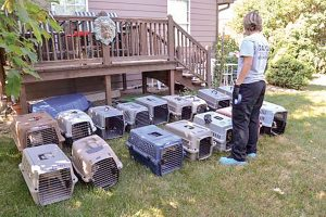 Humane Society workers rescued 63 Chihuahuas from a house in Southern Larimer County. Photo courtesy of Larimer County Humane Society
