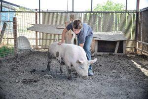 Reece Graznik, 12, works with his Bluebutt pig, Spud, in preparation for next week's Larimer County Fair 4H Junior Livestock Auction on Aug. 10. John Gardner / The Surveyor