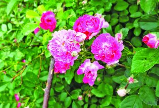 McCarty-Fickel Home Museum to plant rose garden, four other gardens