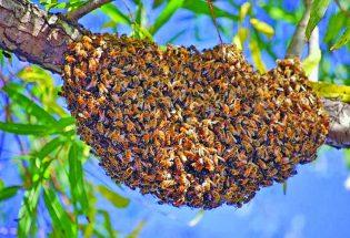 Honey bee swarm season is beginning now in much of Colorado