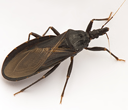 "Unwelcomed advances from ""kissing bugs"" in Colorado"