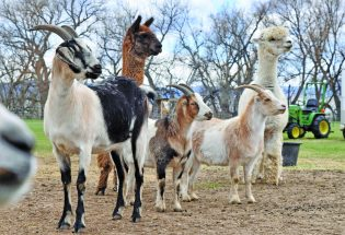 Local Farm animal sanctuary offering virtual tours, Mother's Day event