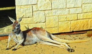 Zoo Chateau Relaxing Kangaroo