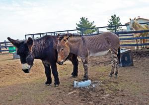 Zoo Chateau Zonkey Donkey and Draft Horse