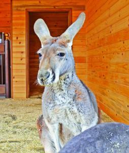 Zoo Chateau close up kangaroo