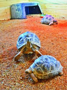 Zoo Chateay Baby Giant Tortoises